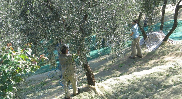 olives harvest  La Piana Via Buggiano colle 8 Buggiano
